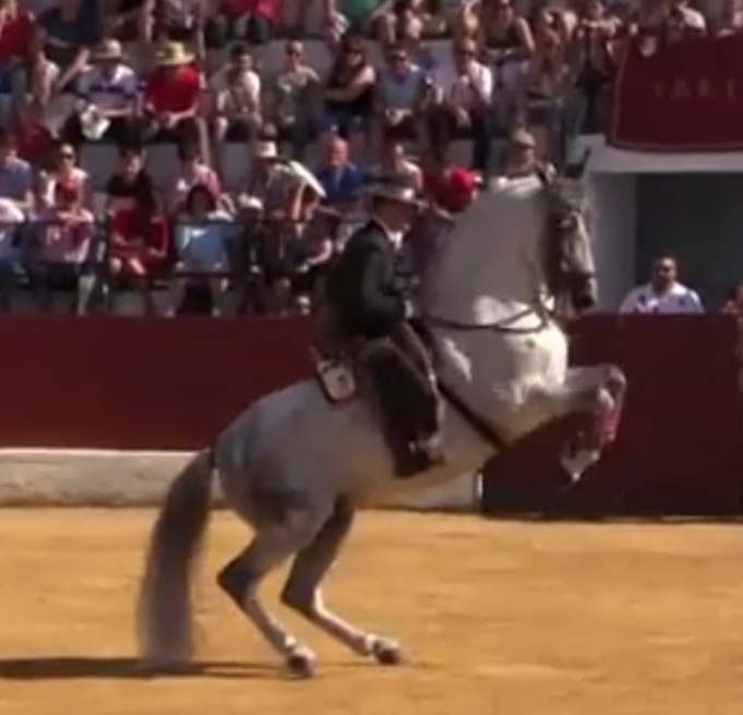 best Andalusian horse Tordo